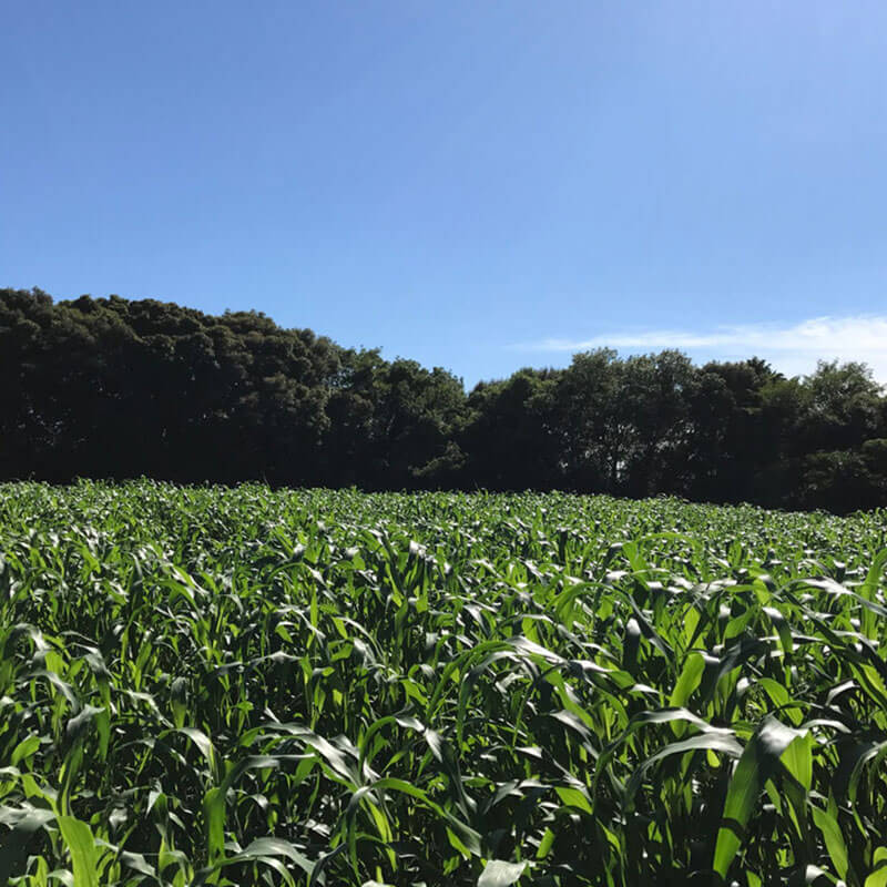緑肥と微生物により減農薬